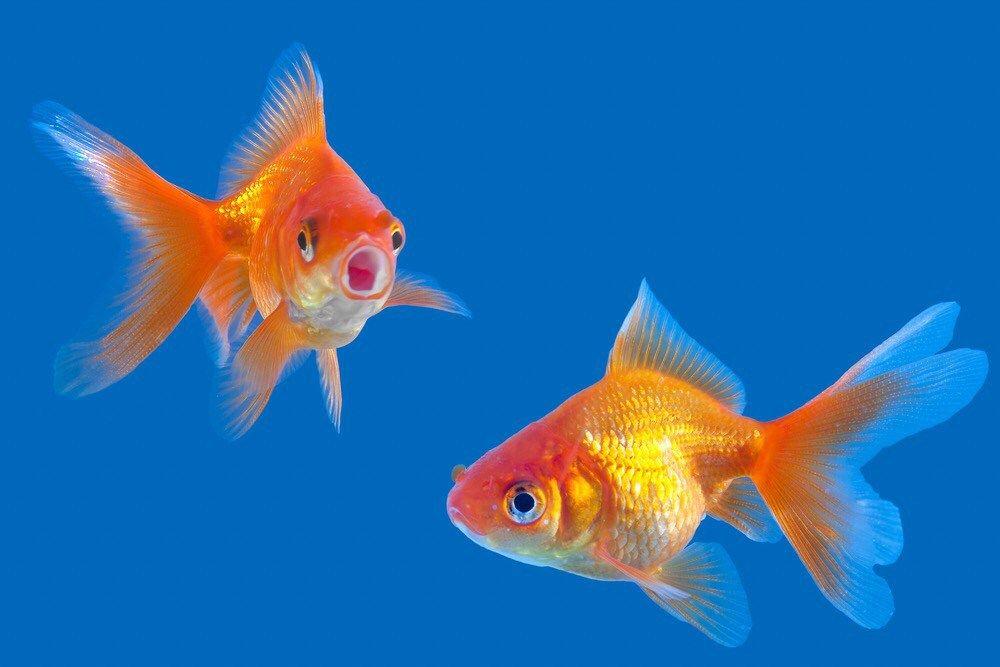 Da Dove Deriva Il Detto Sano Come Un Pesce 金魚