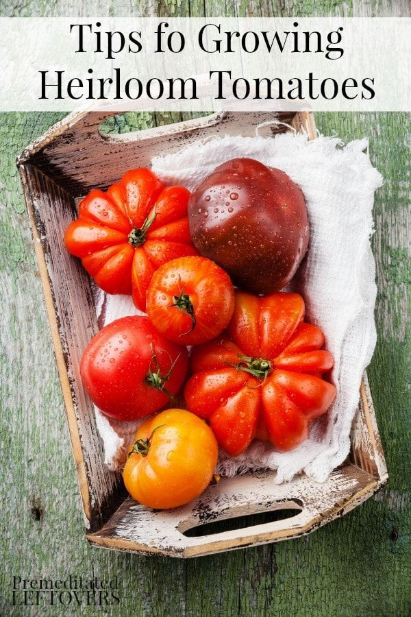 for Growing Heirloom Tomatoes - What makes a tomato an heirloom? What care do heirloom tomato plants require? How to harvest heirloom tomatoes.