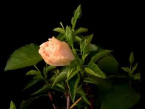 Распускаются цветы