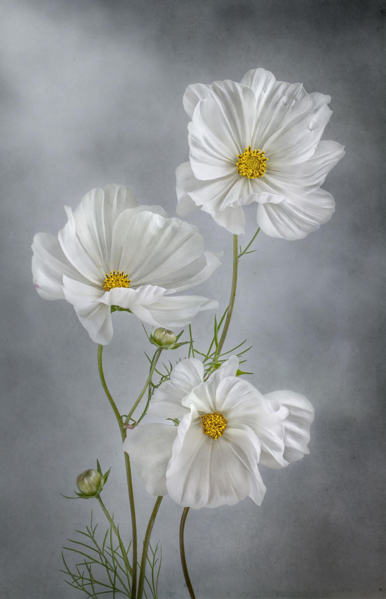 Cosmos by mandy disher flowers breathtaking pinterest cosmos by mandy disher white cosmo cosmos flowers exotic flowers mightylinksfo