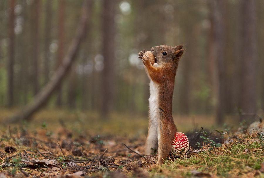photo d'un ecureuil qui s'appuie sur une amanite tue mouche pour déguster sa noisette