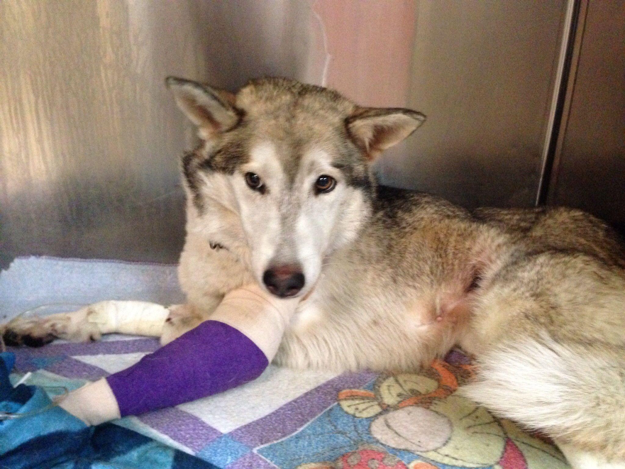 Found Date Found 09 08 14 Lebanon Tn Mix Breed Siberian Husky