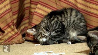 Funny Cat Videos Archives Kmoshi Com Funny Cat Videos Cat Gif