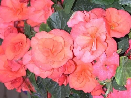 Begonia Solenia Salmon Coral Begonia Coral Flowers