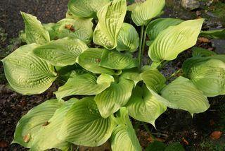 Hosta 'Sum and Substance' Pflanzen, Schattenbeet und