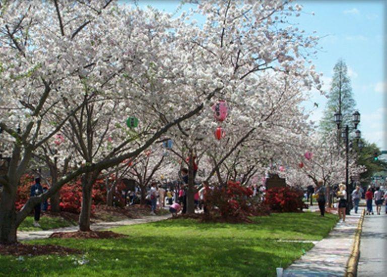 Macon Cherry Blossom Festival Cherry Blossom Festival Macon Cherry Blossom Season