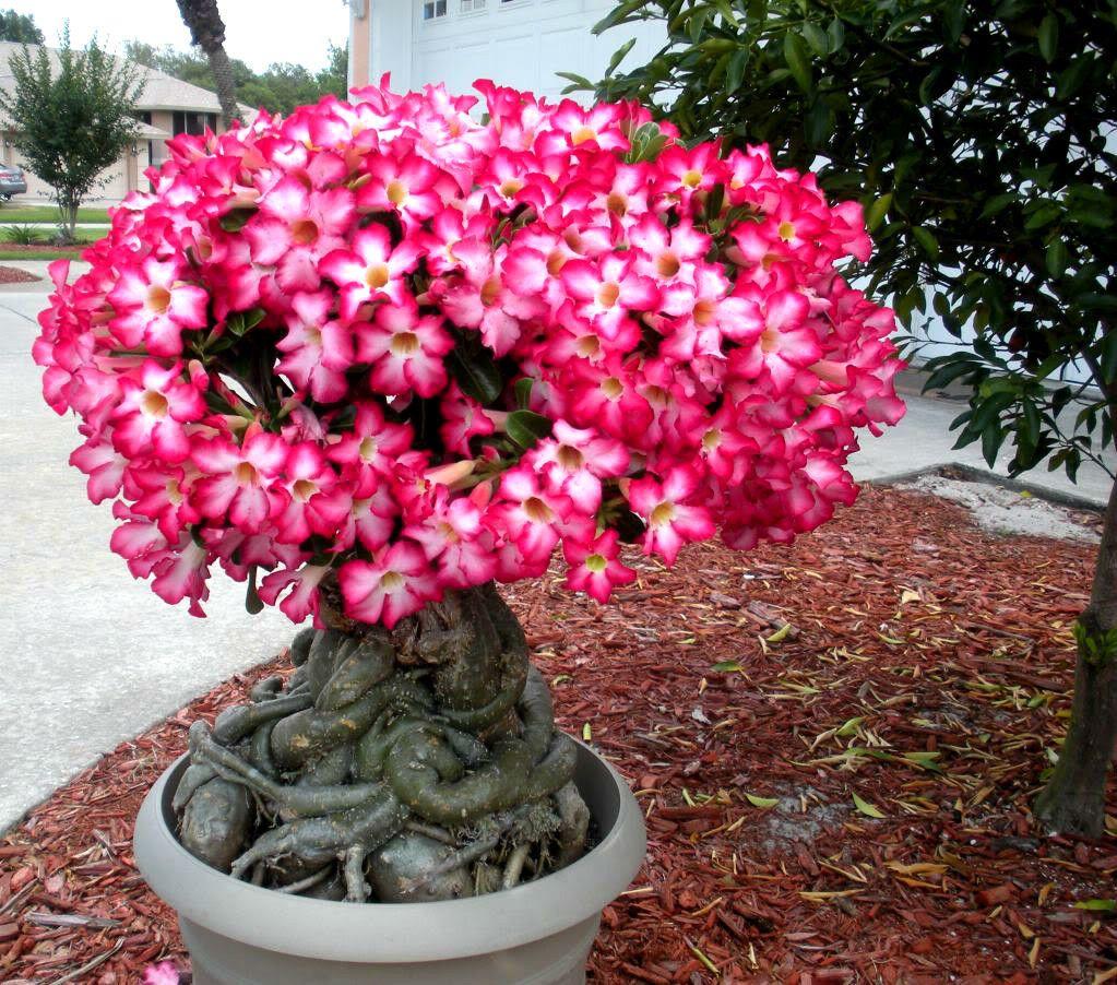 Adenium Obesum Desert Rose Succulent Desert Rose Plant Rose Seeds Bonsai Flower