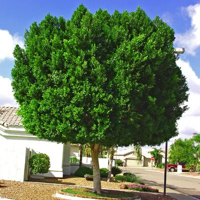 Tru-Green Laurels for Sale in Houston | Always Green Evergreen Trees ...