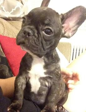 French Bulldog Puppy For Sale In Arlington Va Adn 29727 On