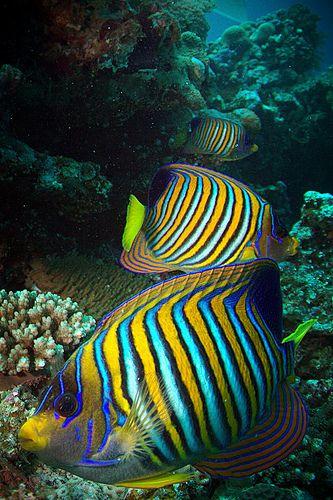 royal angelfish by m*yoko