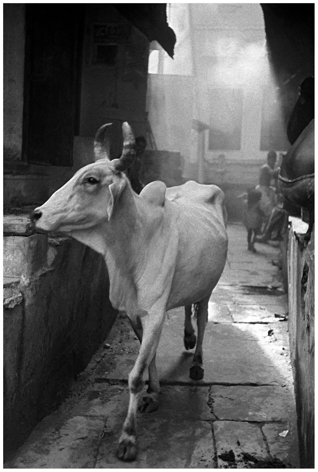 Frank Horvat - Cow in the bazaar, New Delhi, 1953. S)