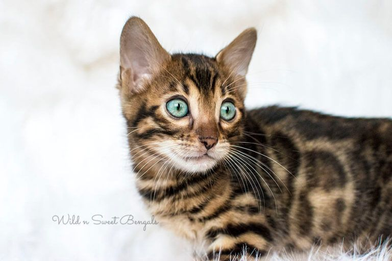 Bengal Kittens Cats For Sale Near Me Bengal Kittens For Sale Bengal Kitten Cats For Sale