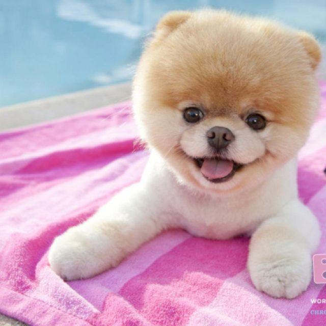 2nd dream dog mini pomeranian with teddy bear face i