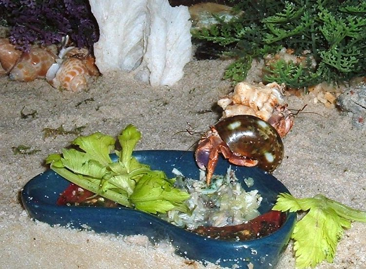 Hermit crabs and what they eat, help please?