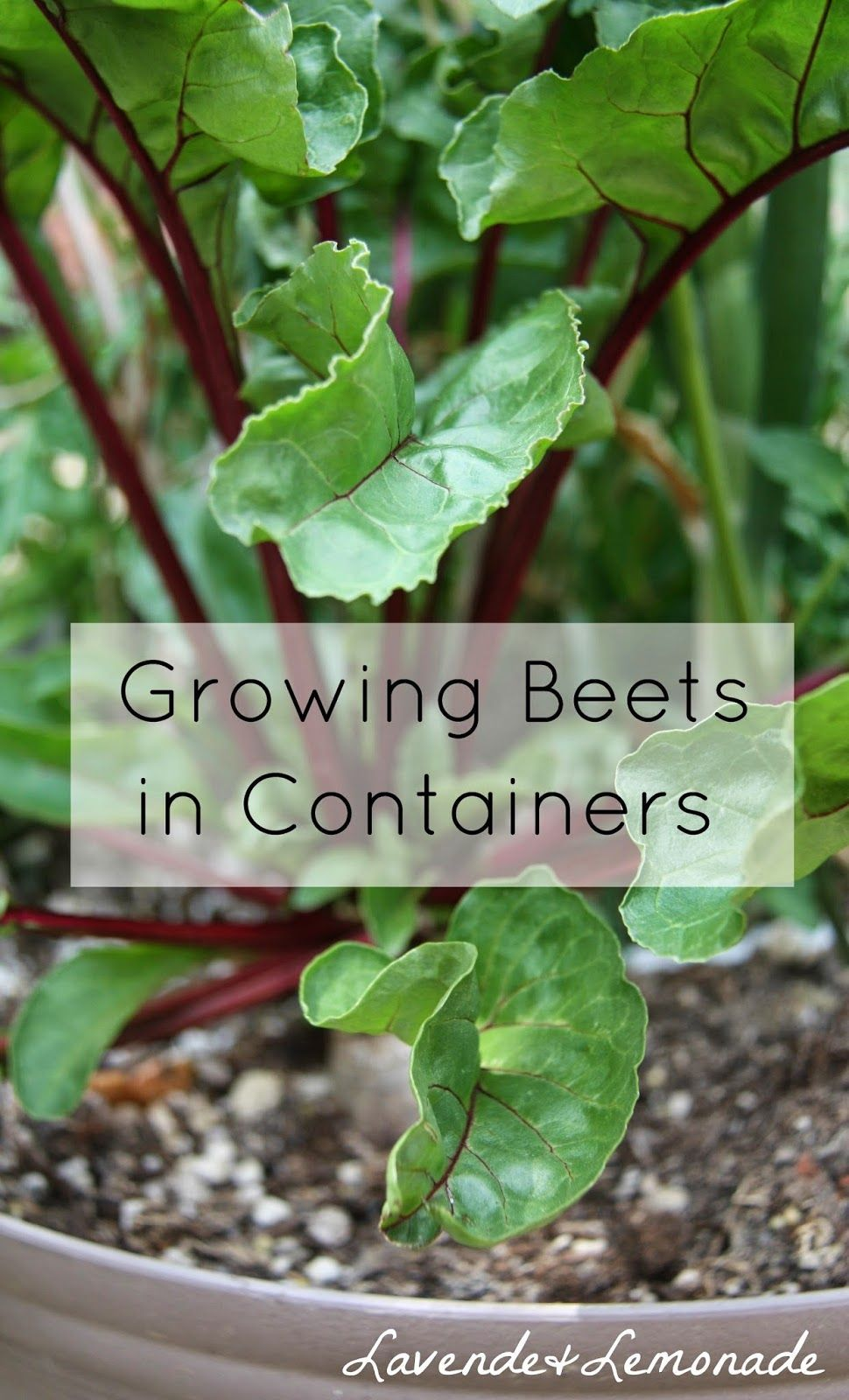 How To Grow Beets In Containers Apparently Very Easy Water Only Once Twice Week Grow Abundantly Eat Th Growing Beets Container Gardening Growing Vegetables
