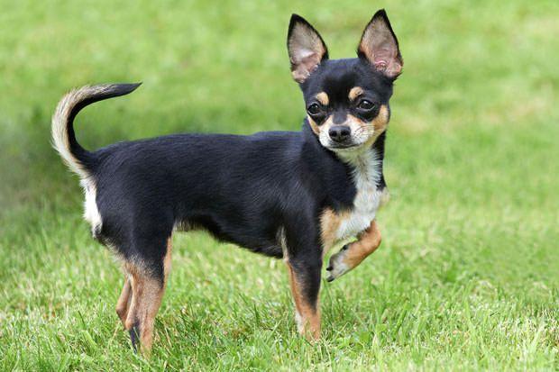 21 Tough To Train Dog Breeds Dog Breeds Chihuahua Dogs Chihuahua