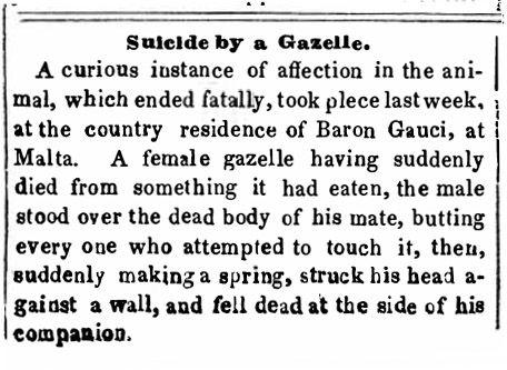 Suicide by a gazelle