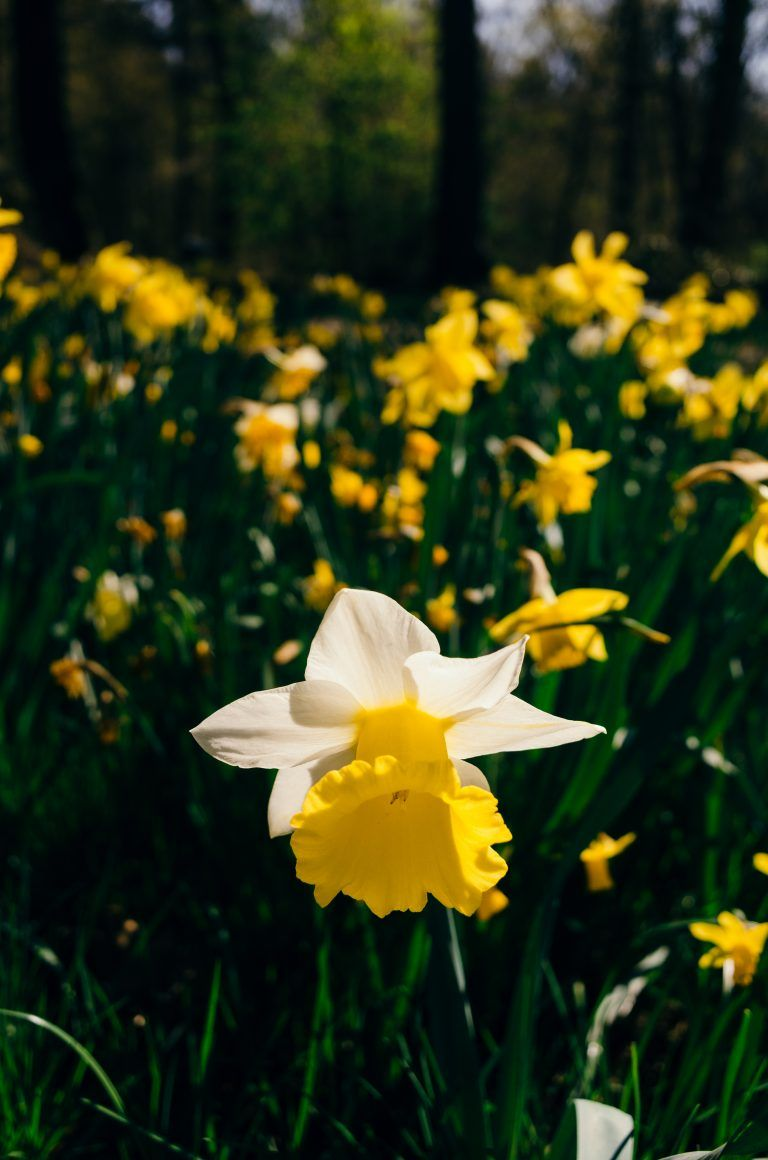 Daffodil Free Photo On Barnimages Daffodils Nature Backgrounds Daffodil Flower