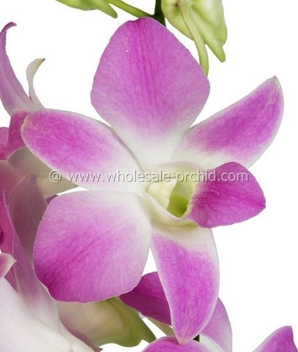 Pin On Orchids Name Dendrobium