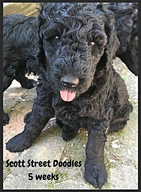 Male F2b Double Doodle Ready For A Loving Home June 30 2016 Double Doodle Puppies Double Doodle Puppies