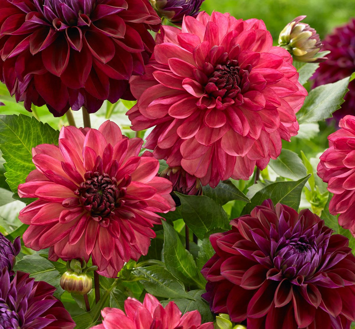 New Dahlias For Your 2019 Flower Garden Longfield Gardens Longfield Gardens Container Flowers Dahlia