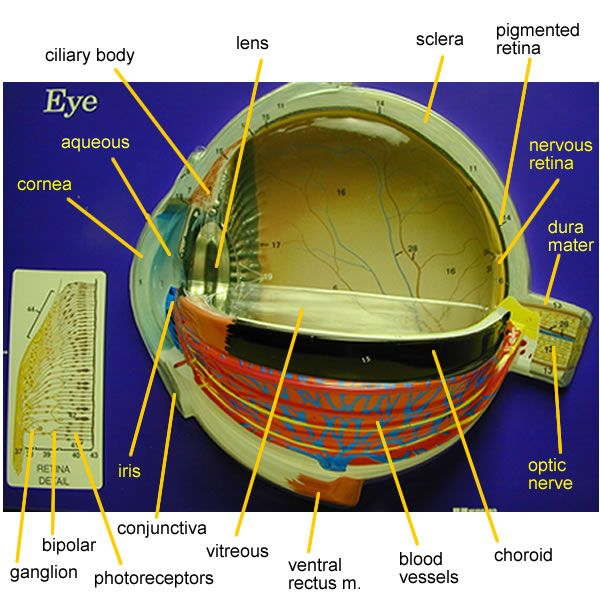 Ocular Anatomy Coloring Book : Eye model labeled bing images biology pinterest nursing