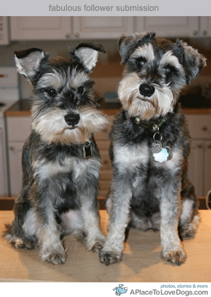 Two Sweet Schnauzers A Place To Love Dogs Schnauzer Schnauzer Puppy Schnauzer Dogs