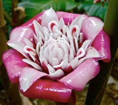 Rare Torch Ginger Malay Rose Etlingera Venusta Also Called Pink Porcelain Ginger Has Stunning Porcelain Looking Pink And White Flowers Flower Stems 1 3 T