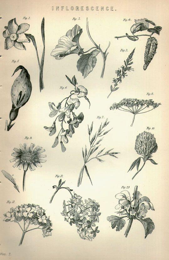 1890 Antique Botanical Print Inflorescence Botany Plant Etsy Antique Botanical Print Biology Plants Botany Illustration