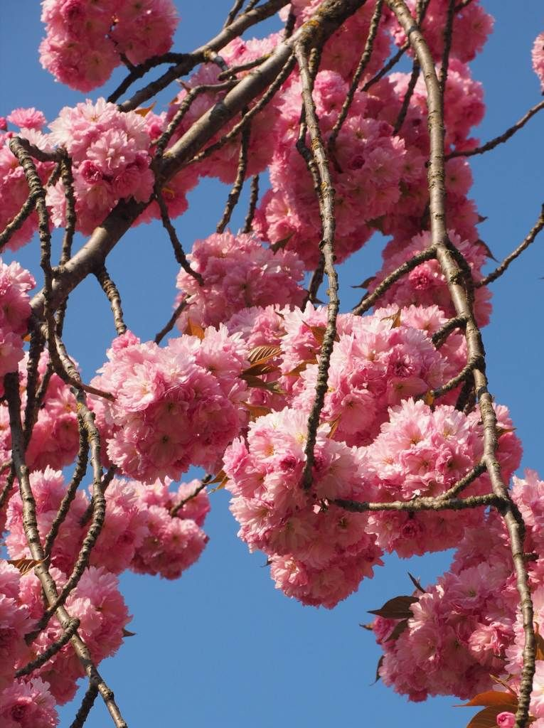 Japanese Cherry Tree Planting Pruning Caring For This Astounding Tree Japanese Cherry Tree Cherry Tree Japanese Cherry