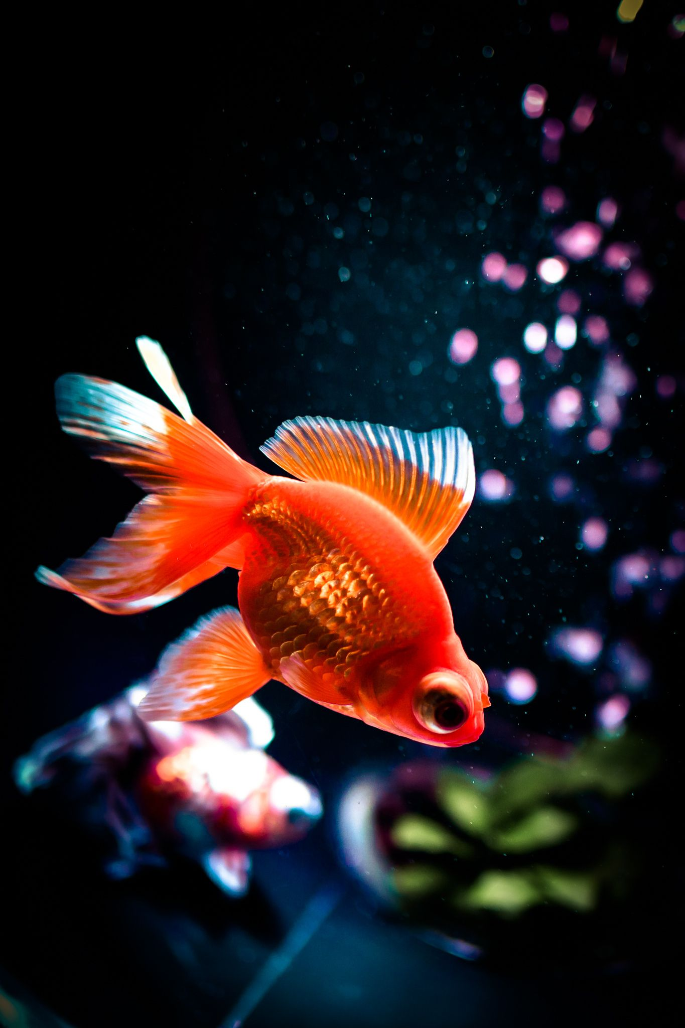 104 Goldfish, Pet fish, Fish