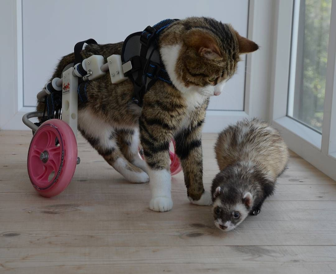 Paralyzed Cat Takes On The World In A Wheelchair–With His Best Ferret Friends By His Side | iHeartCats.com - All Cats Matter ™