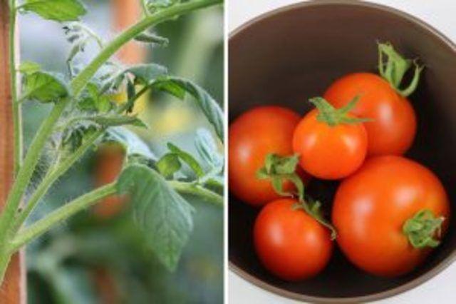 Klettergerüst Tomate : Tomaten im winter in der wohnung züchten u so ernten sie