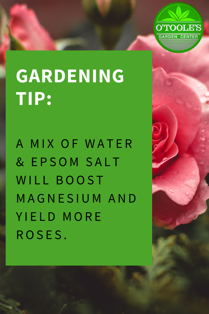 Did You Know That A Mix Of Water Epsom Salt Will Boost Magnesium And Yield More Roses Otoolesgardencenters Gardening Supplies Gardening Tips Garden Center