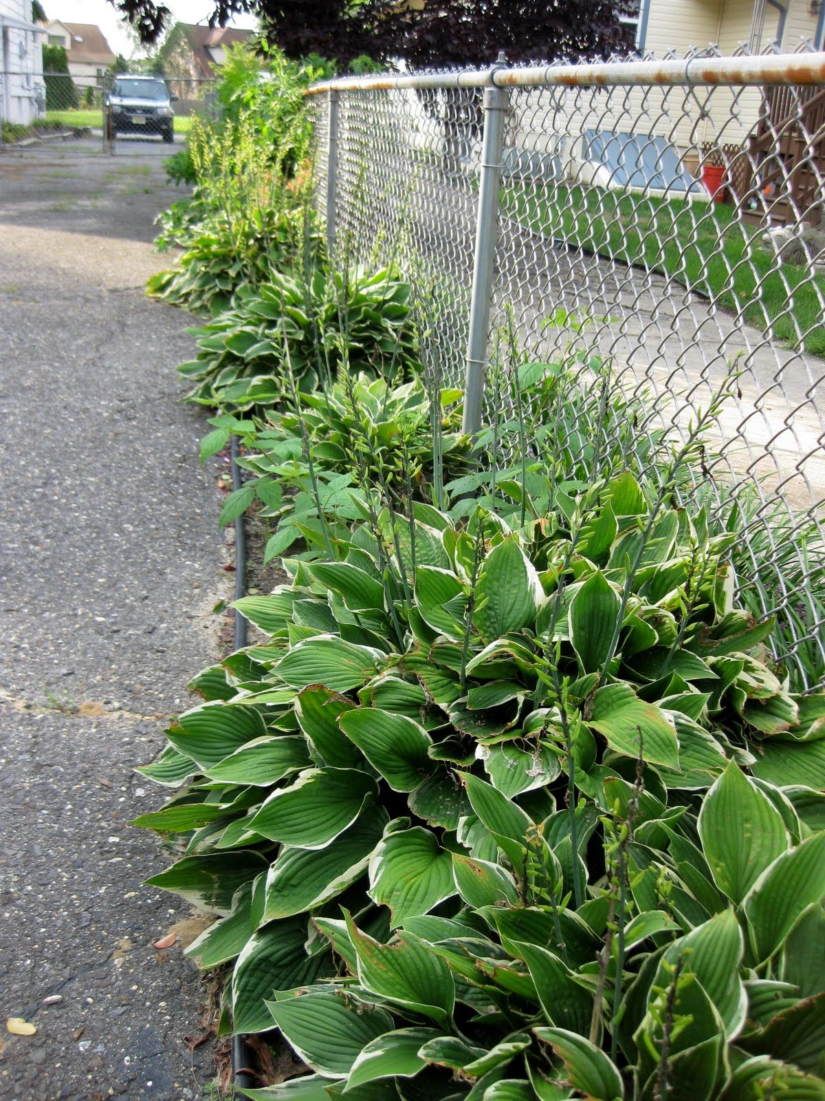 hostas lined driveway but away from driveway in mulch with grass rh pinterest com