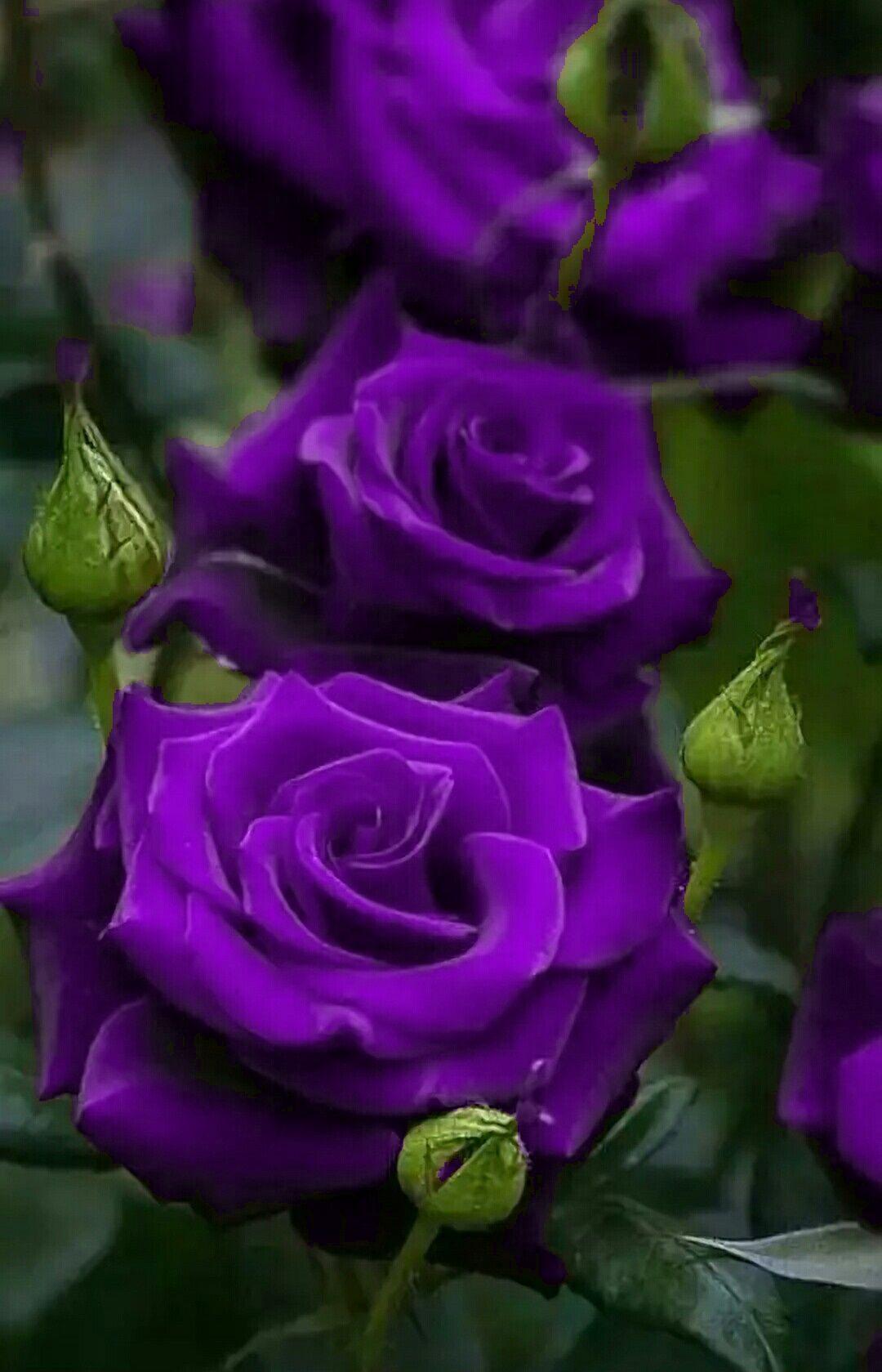 румынию, красивая сиреневая роза фото разрыве