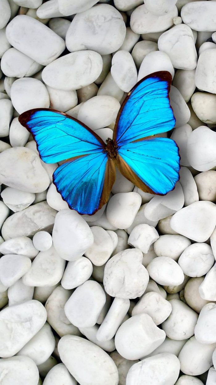 Blue Butterfly Wallpaper For iPhone with HD Resolution