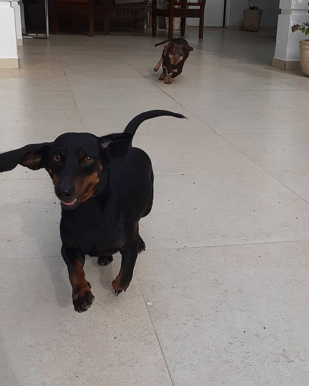 Idea By Post Civil Trends On Weenie Dogs Weenie Dogs Miniature Dachshunds Dachshund