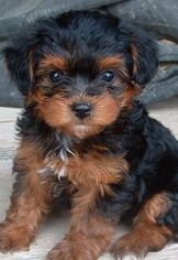 Yorkie Poo Daniel And I Are Totally Getting One Of These One Day