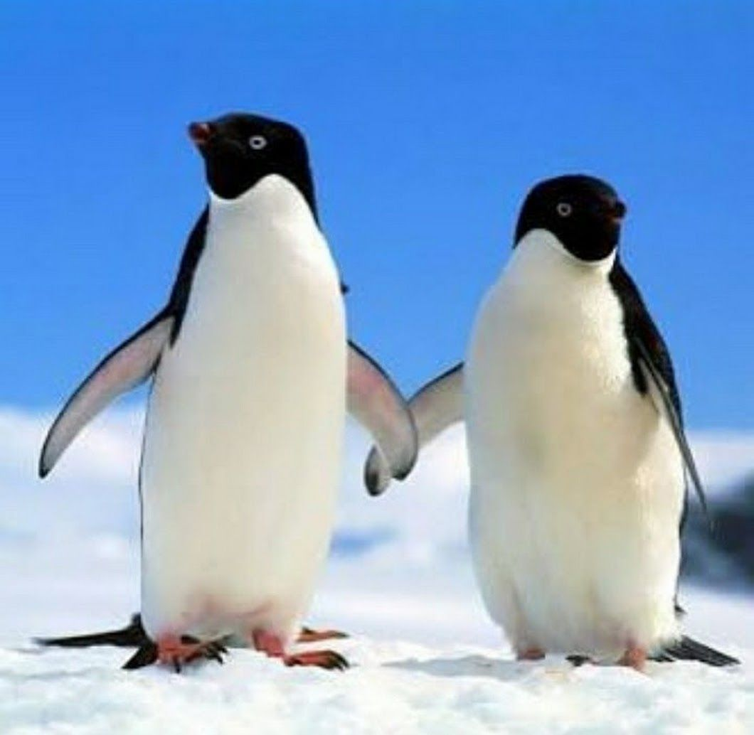 Sign In Pareja De Pinguinos Animales En Peligro De Extincion Pingüino Divertido