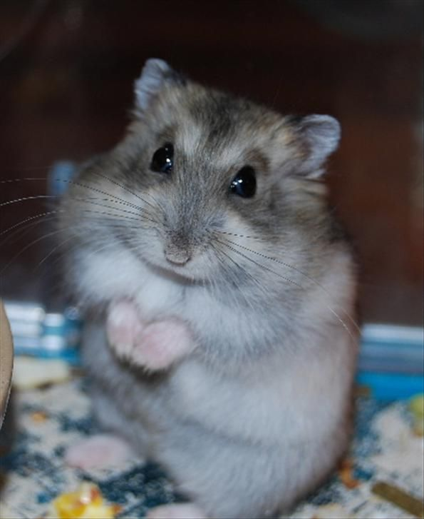 Hehe Standing Up Susseste Haustiere Lustige Hamster Susse