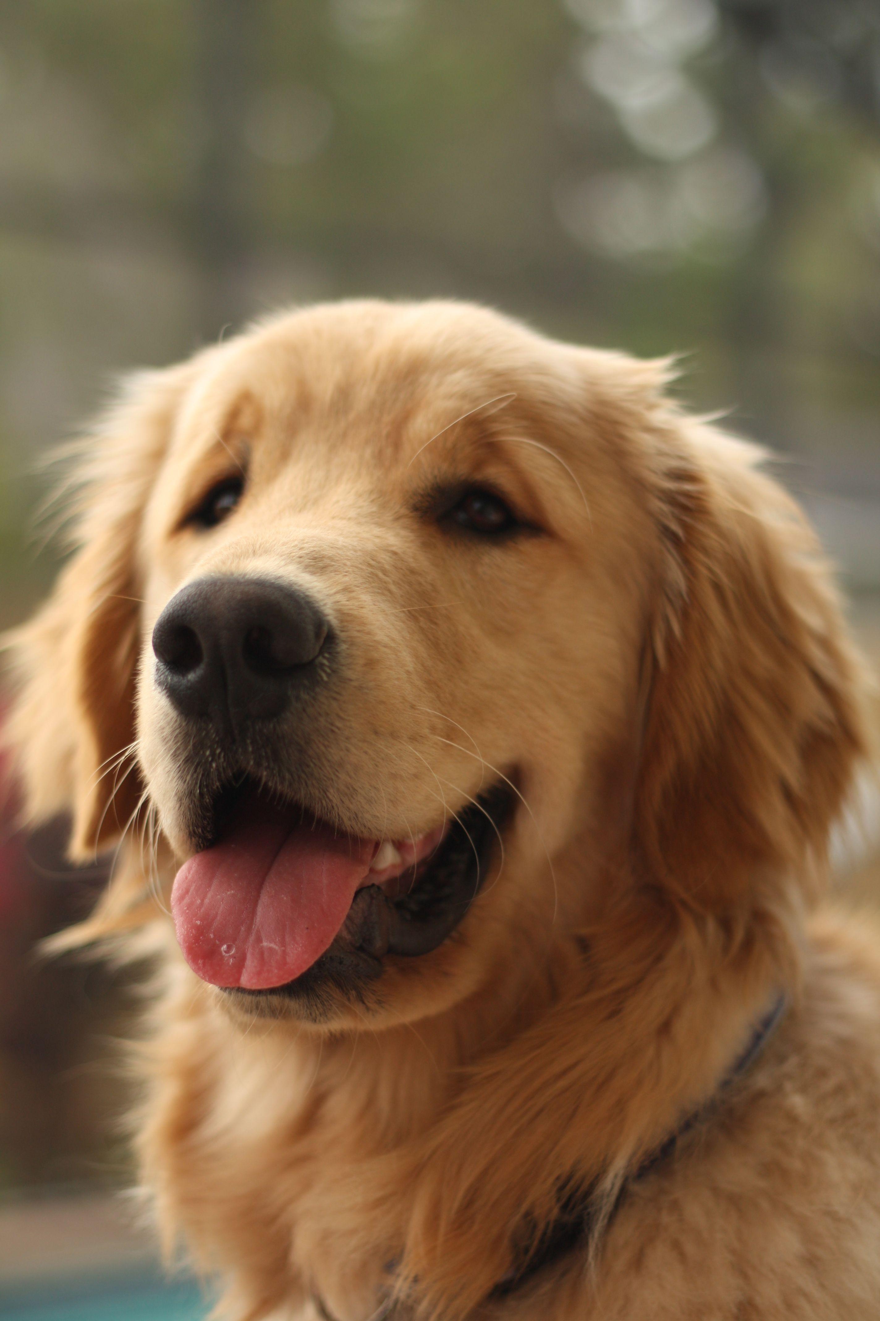 Sweet Face Dogs Retriever Puppy Golden Retriever