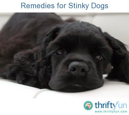 This is a guide containing remedies for stinky dogs. There are some home remedies you can use to help eliminate doggie odor.