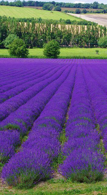 Lavender Farm Shoreham Kent Garten Lavendel Lavendelbluten Lavendel