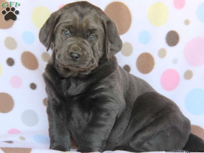 Tess Labrador Retriever Charcoal Puppy For Sale in