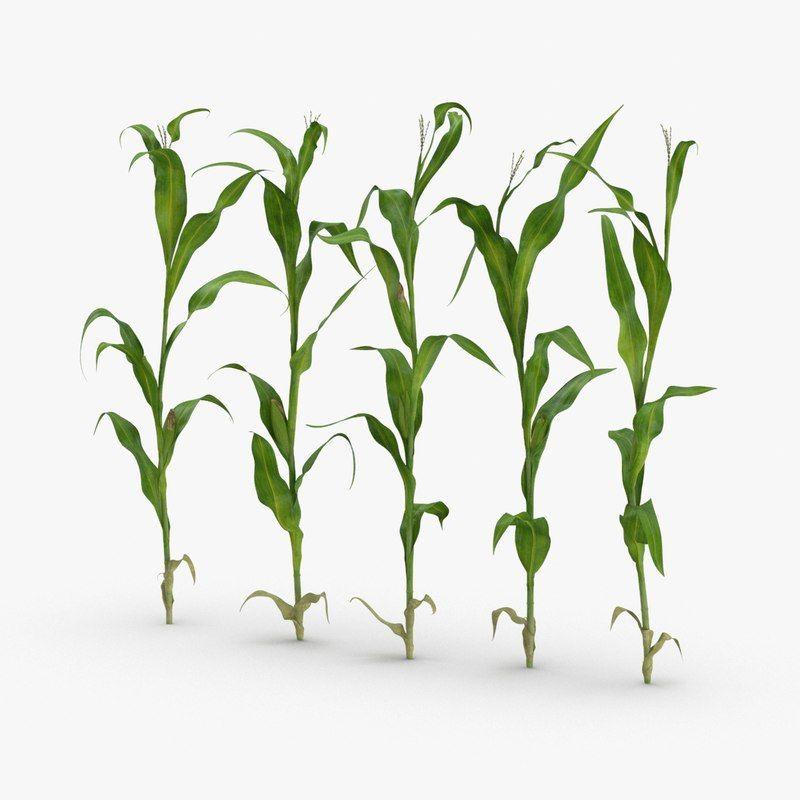 corn stalk Google Search Stalking, Corn