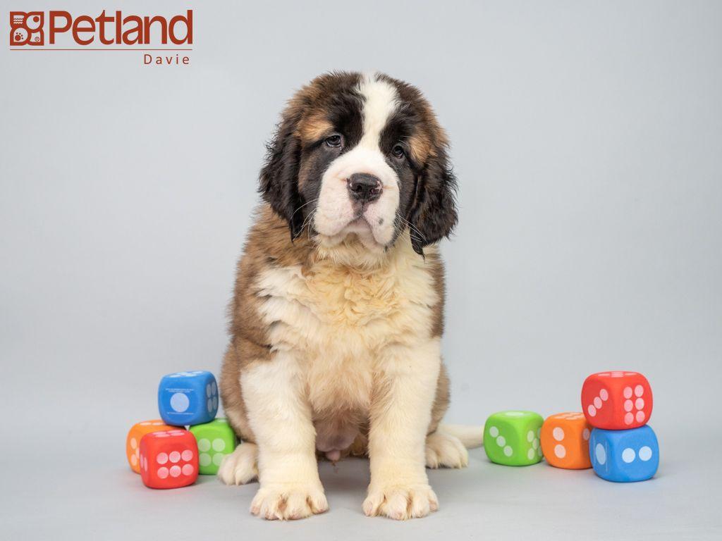 Puppies For Sale Perros Animales San Bernardos