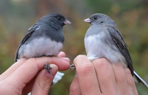 Dark-Eyed Junco Males Tend To Have Darker, More -5792