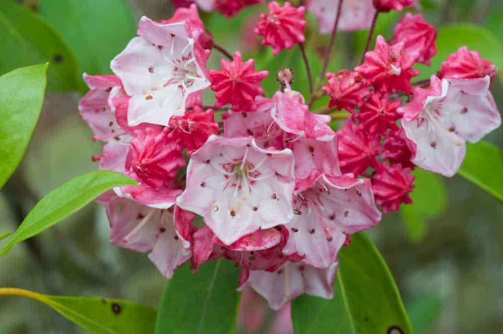 mountain laurel flower colors