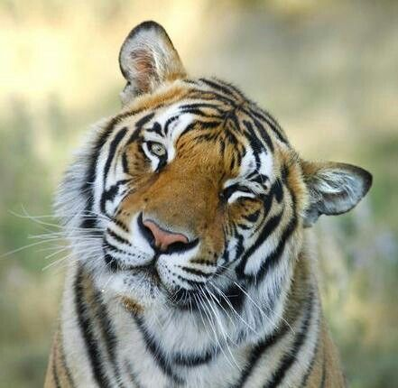 Tiger Winking Tiger Wild Animals Photography Animals Wild